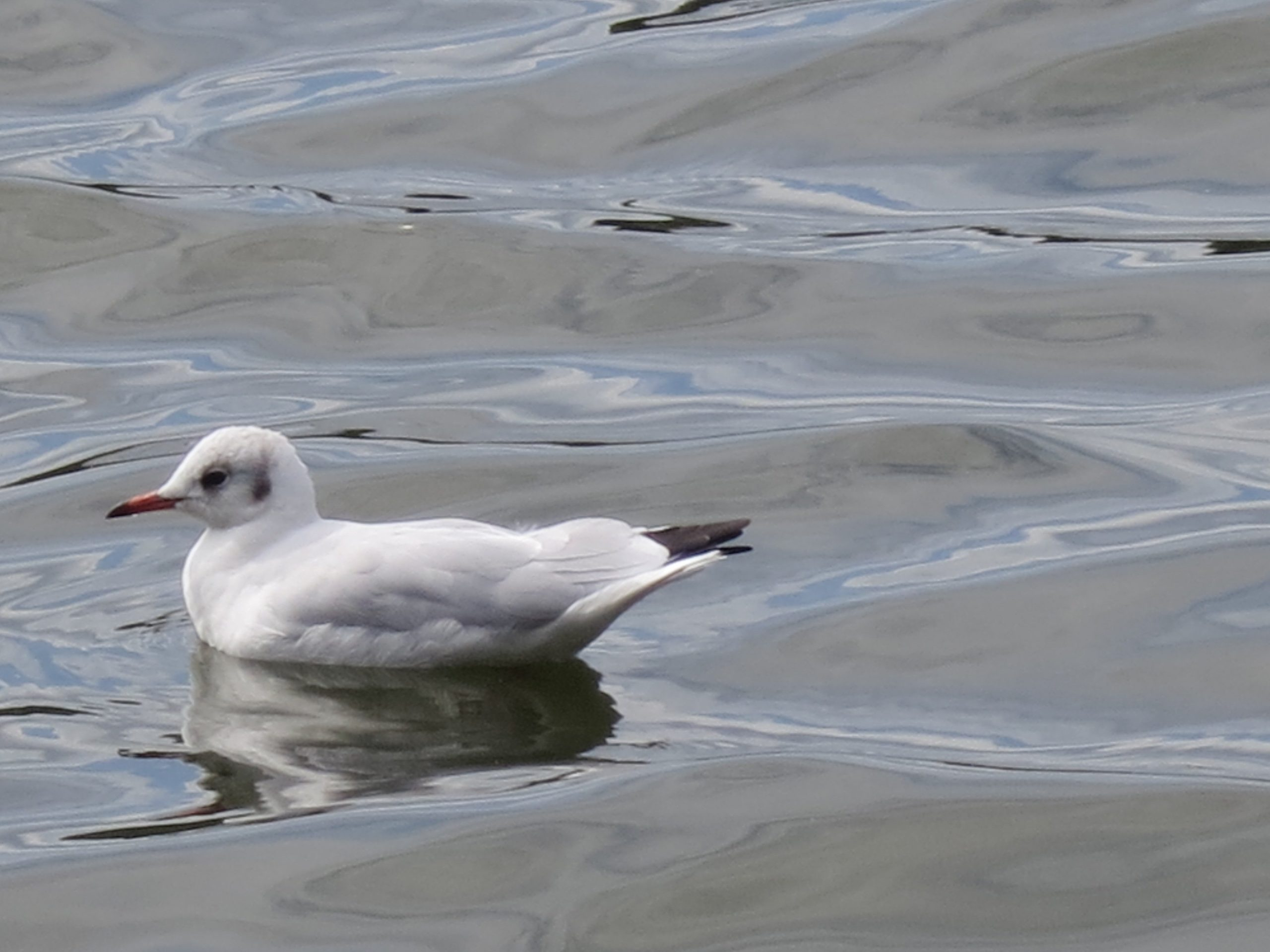 The Serpentine, Seagull