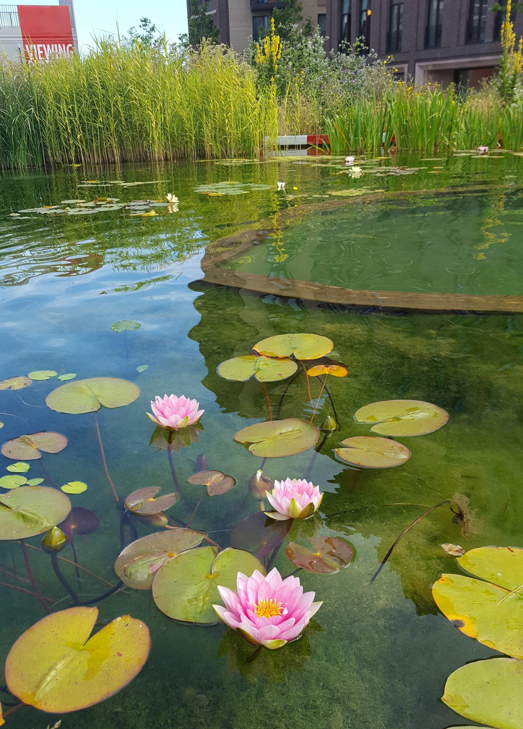 King Cross Pond Club Lily